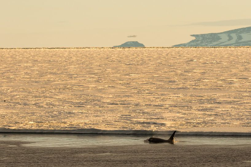 Orka in de ondergaande zon Antarctca van Eefke Smets