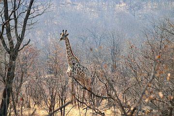 Giraffe zwischen den Bäumen von Merijn Loch