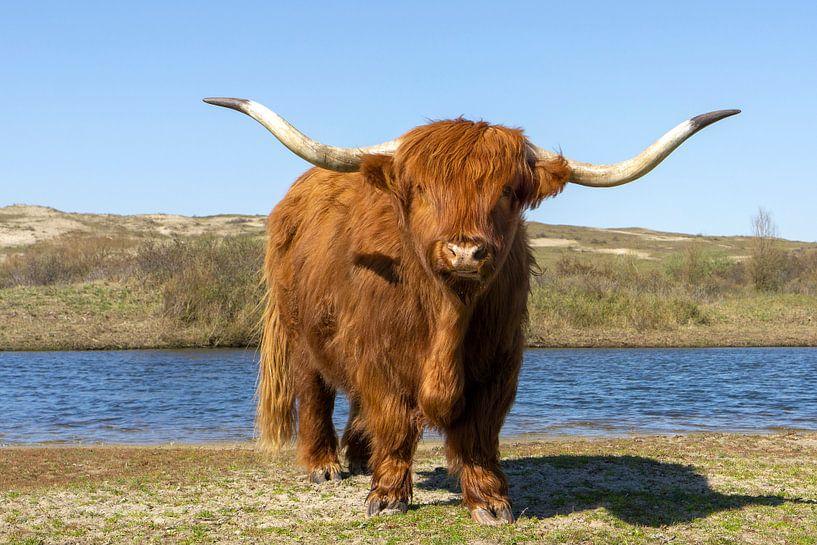 Schotse hooglander bij het water van Barbara Brolsma