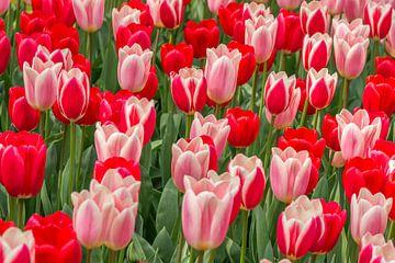 tulp rood -roze van Marco Liberto