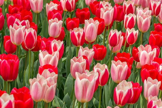 tulp rood -roze