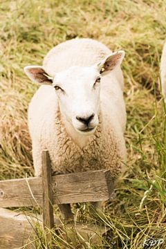 ein Schaf. von Kyra de Putter