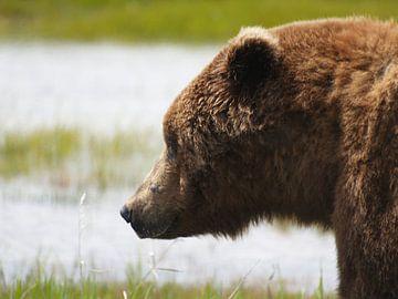Grizzlybeer - Alaska  von Tonny Swinkels