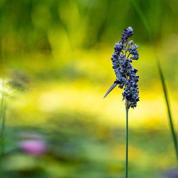 Wasserblume von Maurits Vermeulen