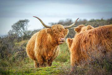 Schottische Hochlandbewohner in der Natur von Dirk van Egmond