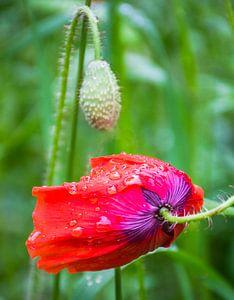 Klaproos, zwaar van regendruppels van