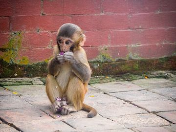 Der blumenfressende Affe des Affentempels in Kathmandu Nepal von Rik Pijnenburg