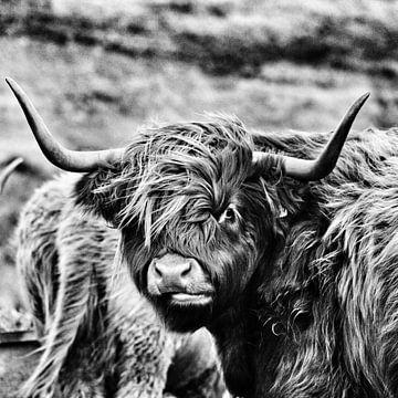 Highland cattle von Oliver Wilkening