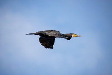 Aalscholver in vlucht, Phalacrocorax carbo van Gert Hilbink
