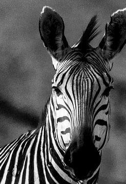 Zebra im Stil der alten Schule von Linda van der Steen