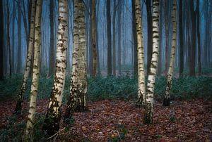 Berkenbomen in een mistig bos