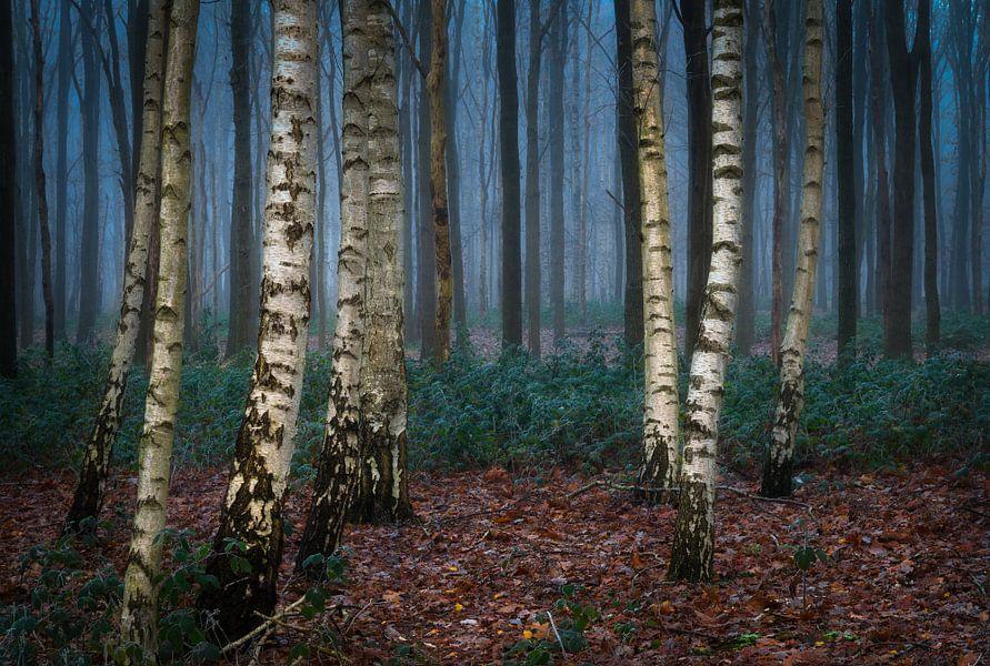 Berkenbomen in een mistig bos van Jos Pannekoek