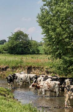Koeien zoeken verkoeling in de Geul in Zuid-Limburg van