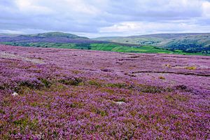 Heather in the Yorkshire Dales in full bloom