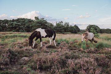 Wilde paarden op de Kampina