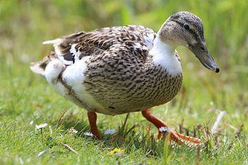Un canard qui marche sur l'herbe