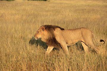 Leeuw met zwarte manen in de kalahari woestijn van Bobsphotography