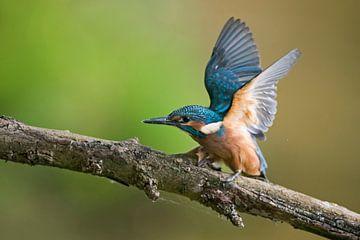 Eisvogel ( Alcedo atthis ), Jungvogel schlägt mit den Flügeln, bettelt, um Futter zu bekommen, wildl von wunderbare Erde