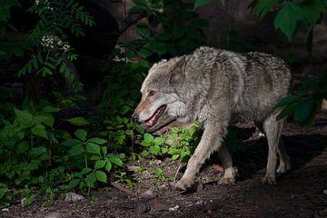Un puissant loup (loup femelle) émerge du fourré vert d'une sombre forêt estivale. L'animal sauvage  sur Michael Semenov