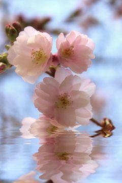 Zierkirschenblüte von Dagmar Marina
