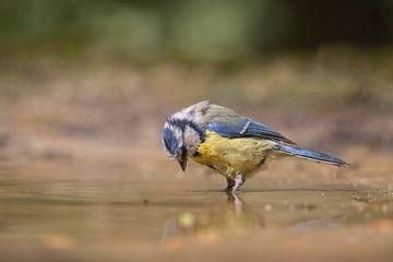 jong pimpelmeesje in het water von Carla Odink