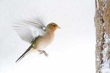 Buchfink ( Fringilla coelebs ) im winter, Schnee, im Flug, Anflug, wildlife, Europe. von wunderbare Erde