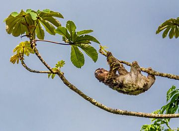 Luiaard in boom in Costa Rica van Corno van den Berg