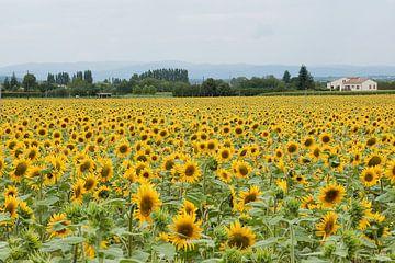 Sunflowers van Jodi van Dam