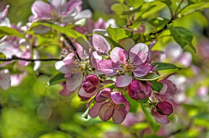 Appelbloesem van Frans Blok