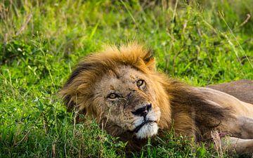 Leeuw in het lange gras van Stijn Cleynhens