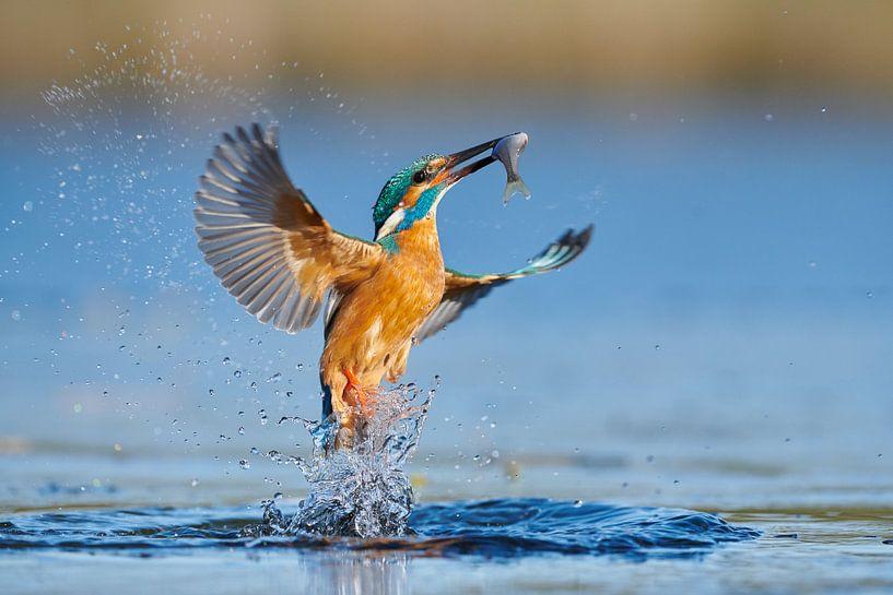 IJsvogel - In een flits van IJsvogels.nl - Corné van Oosterhout