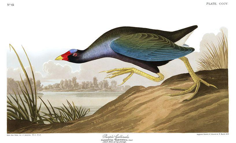 Zwergsultanshuhn von Birds of America