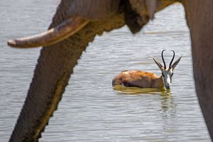 Springbock und Elefant