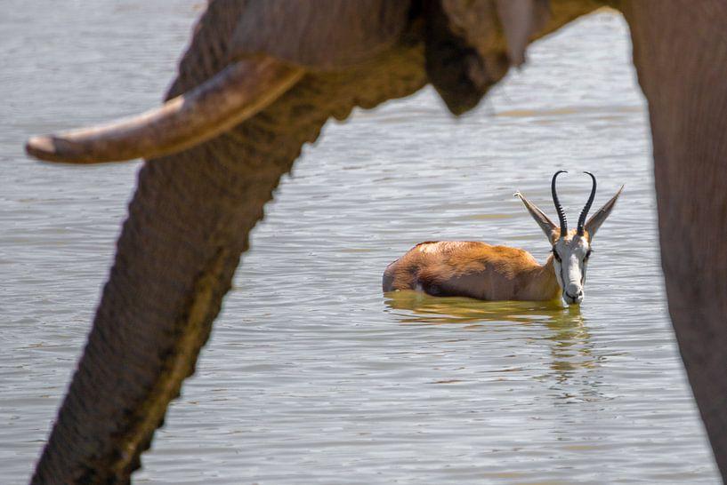 Springbock und Elefant van Felix Brönnimann