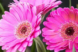 Close-up foto van donker roze gerbera's.