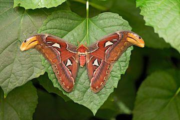 Atlas vlinder van gea strucks