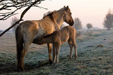 Konik horses van