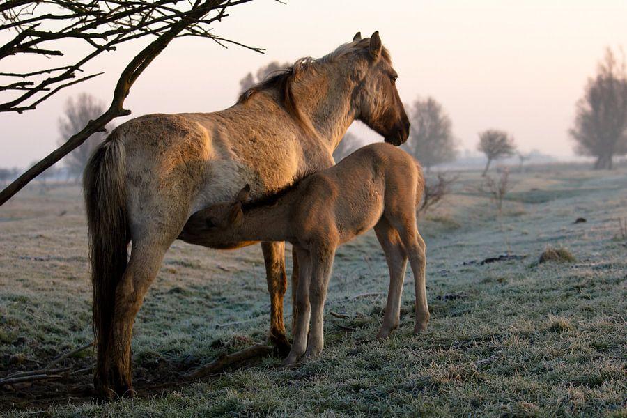 Konik horses