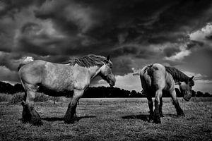 trekpaarden van
