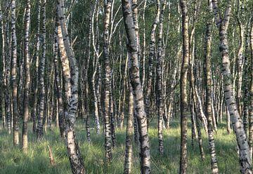 Berkenbomen van Wouter Bos