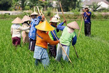 Werken in de rijstvelden op Lombok sur Willem Vernes
