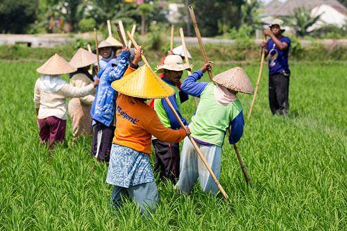 Werken in de rijstvelden op Lombok van