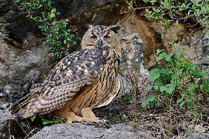Uhu ( Bubo bubo ), Jungvogel in einem aufgelassenen Steinbruch, präsentiert sich von seiner besten S