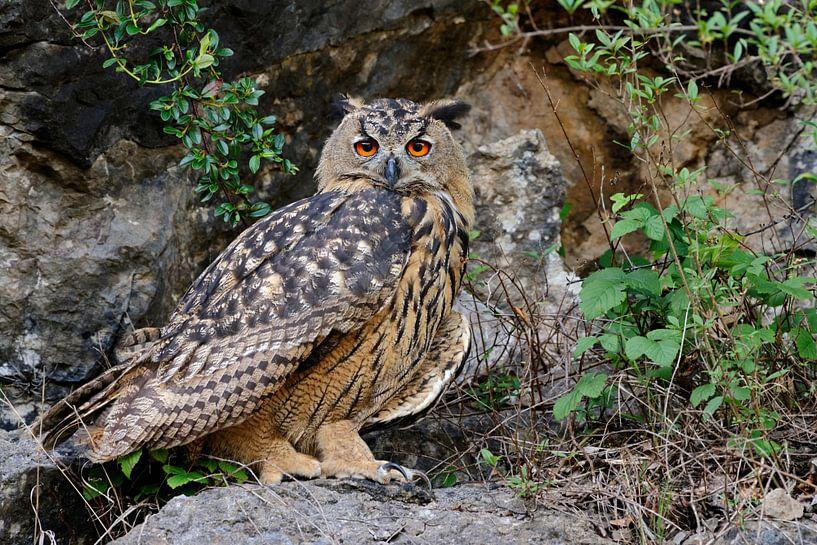 Uhu ( Bubo bubo ), Jungvogel in einem aufgelassenen Steinbruch, präsentiert sich von seiner besten S von wunderbare Erde
