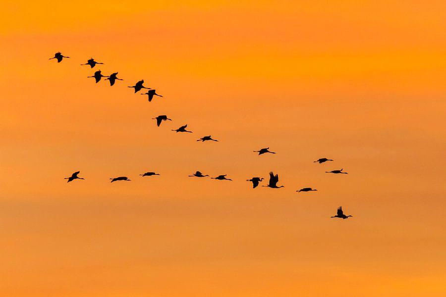 Kraanvogels in oranje lucht