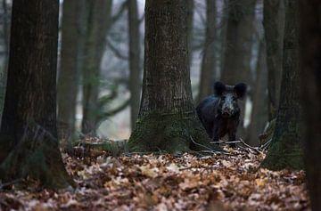 Wildschwein auf der Veluwe von Danny Slijfer Natuurfotografie