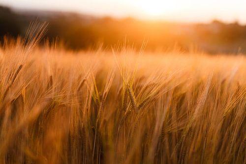 Graanveld bij zonsondergang van