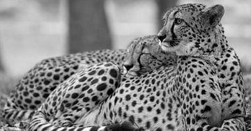 Der Gepard hält Wache, während der andere herrlich liegt (in schwarz-weiß) von Patrick van Bakkum