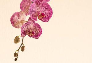 Knoppen in de orchidee