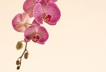 Knospen in der Orchidee von J..M de Jong-Jansen